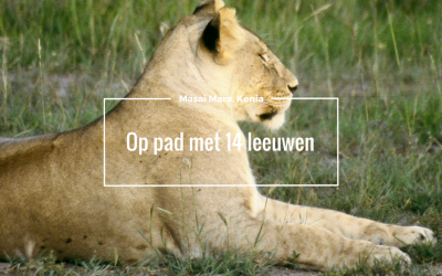 Op pad met 14 leeuwen in de Masai Mara, Kenia