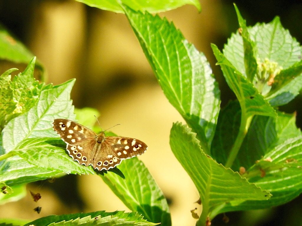 Drenthe vlinder