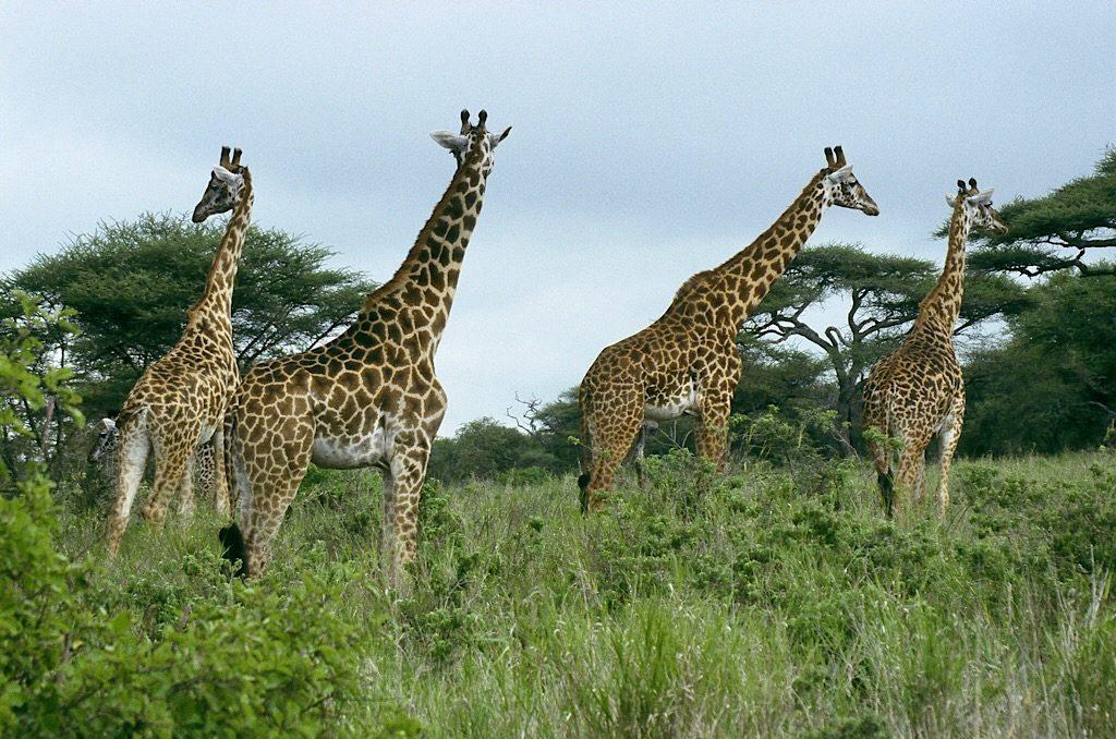 Giraffen, Afrika