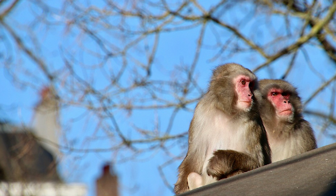 Aapjes kijken in de winter in Artis, de oudste dierentuin van Nederland