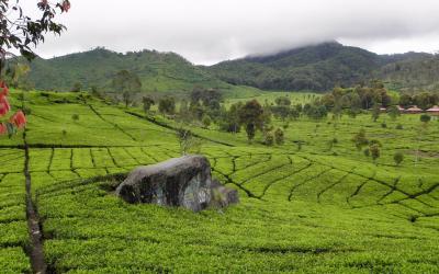 Een bezoek aan een theeplantage op reis, not your cup of tea? Think twice!
