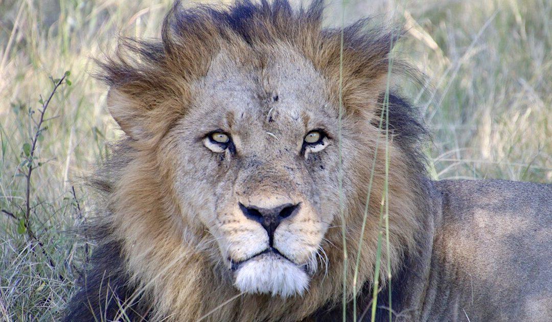 Oog in oog met de King in Moremi Game Reserve in Botswana